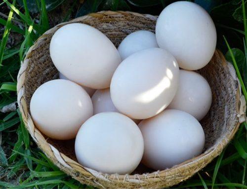 Mast Kazı Yumurtası